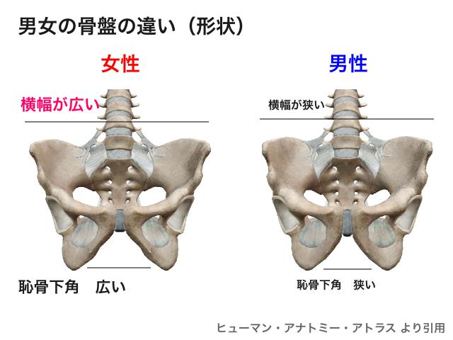 男女の骨盤の違い1